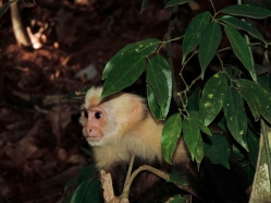 white faced monkey