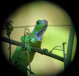 green iguana up close