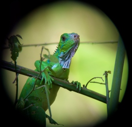 green iguana up close