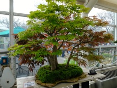sakura - bonsai5