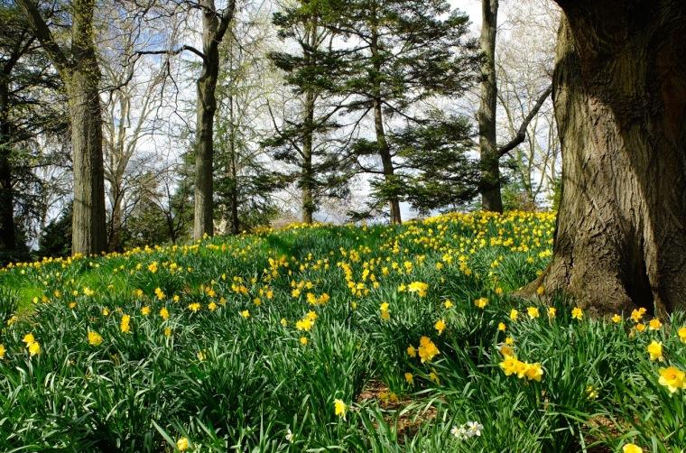 sakura - daffodils