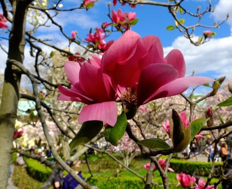 close-up of a full bloom magnolia