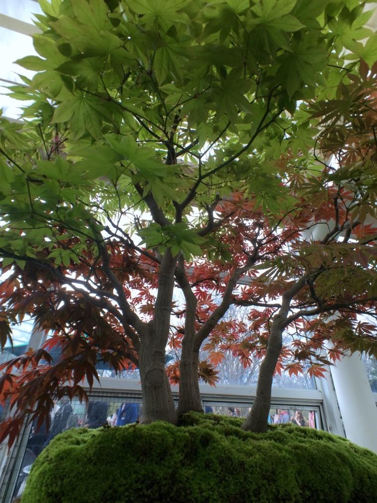 sakura - bonsai1