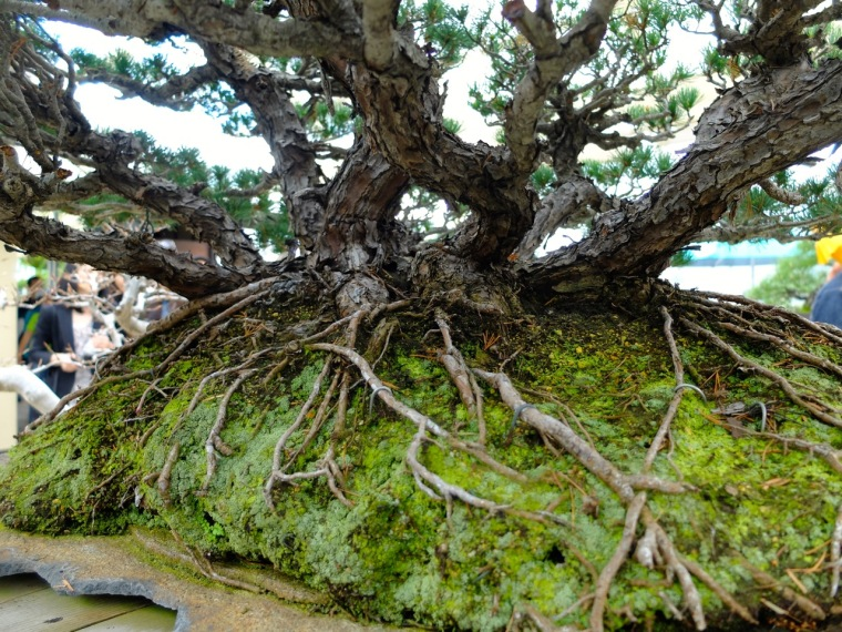 sakura - bonsai3