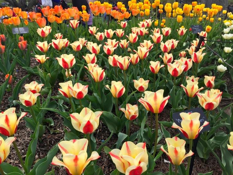 sakura - tulips3
