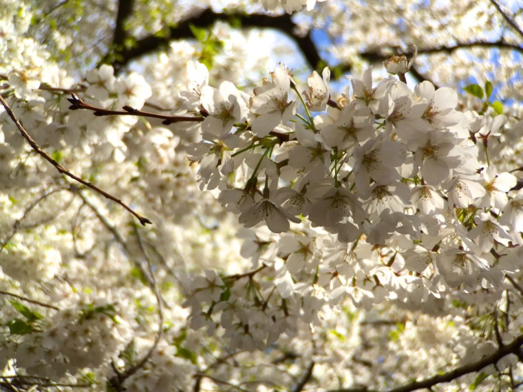 sakura - white