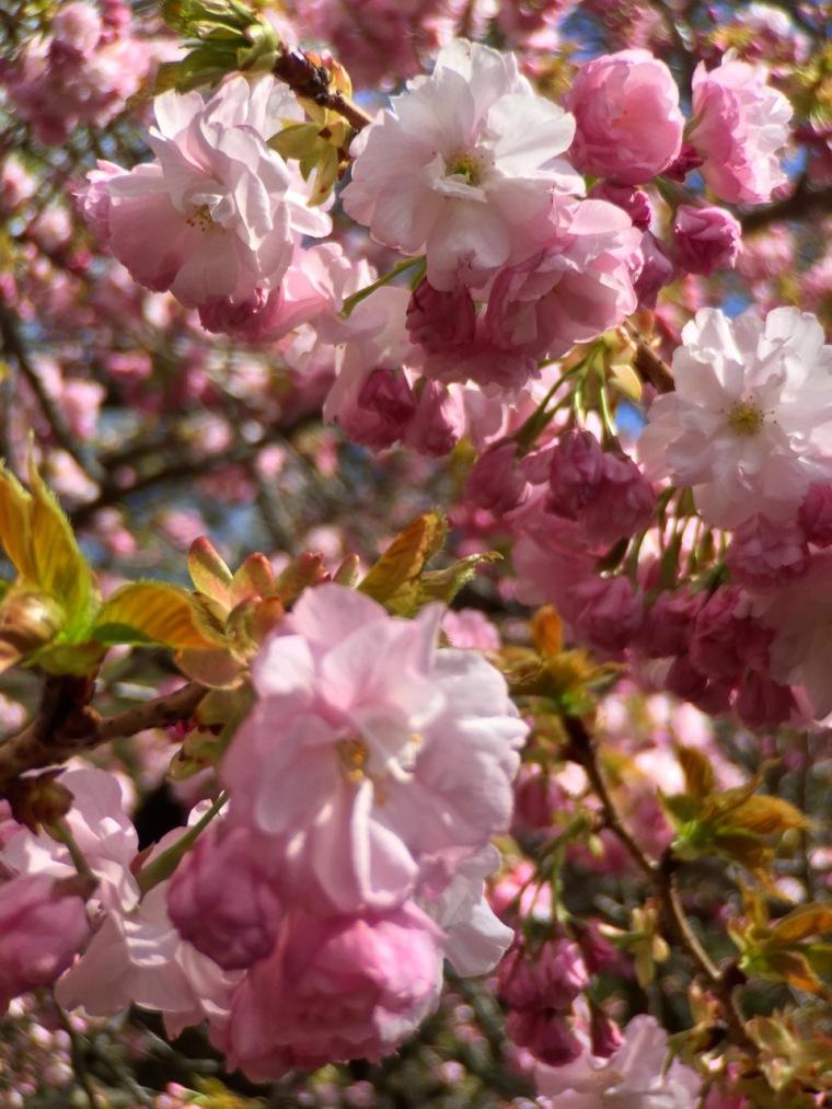 sakura - pink blossoms